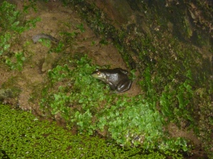 Frog at Cave Hollow